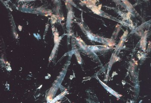 Lär dig mer om krill, klicka här.